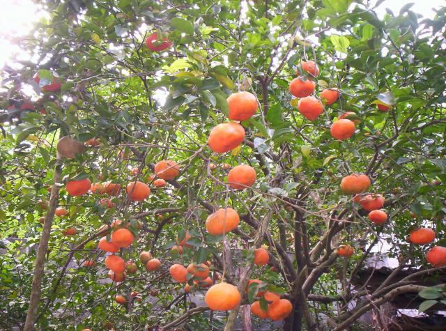 the gallery for arbol de mandarina